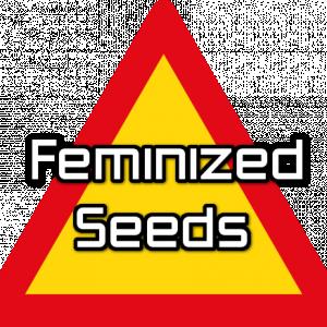 2. Feminized Seeds